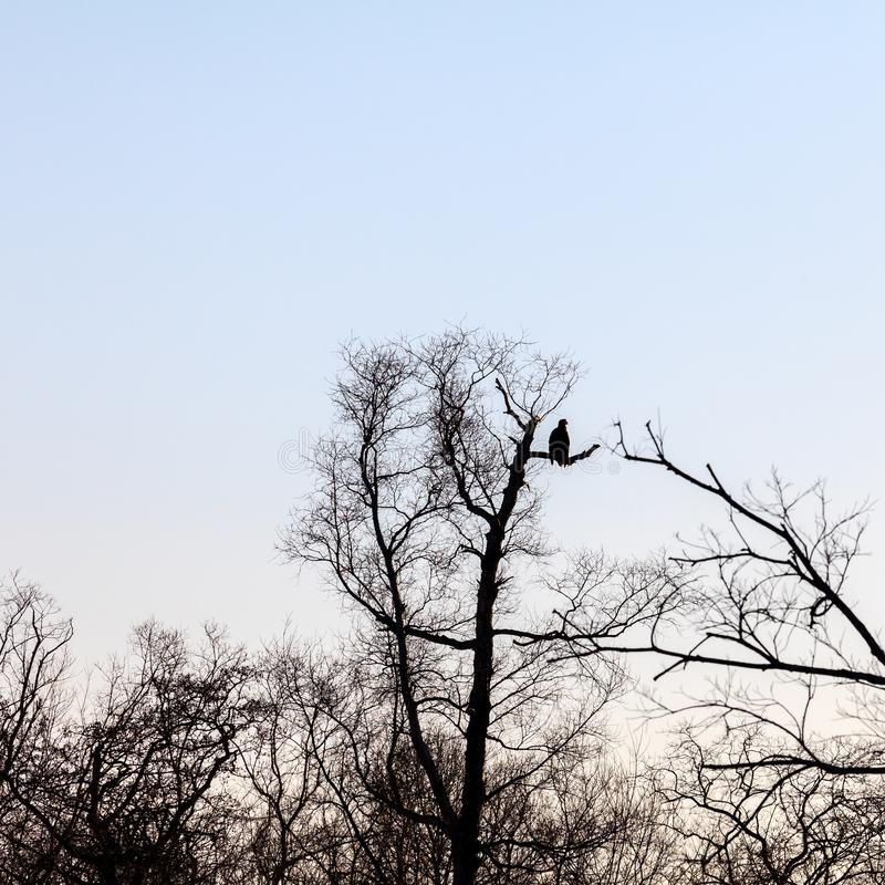 Silhouette of dark eagle sitting on the bare branches of trees.  royalty free stock images