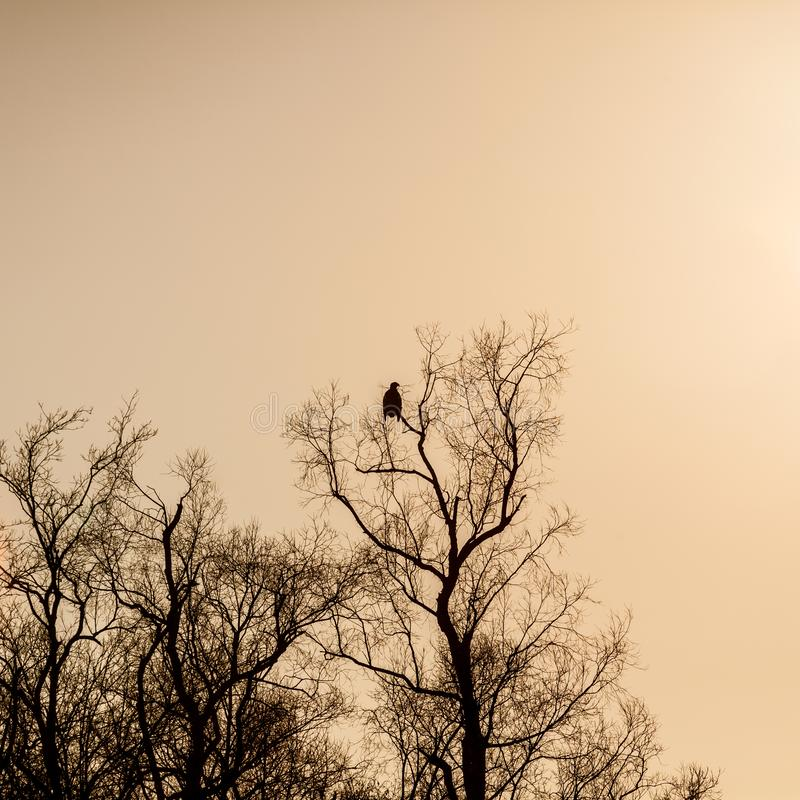 Silhouette of dark eagle sitting on the bare branches of trees at sunset.  royalty free stock photography