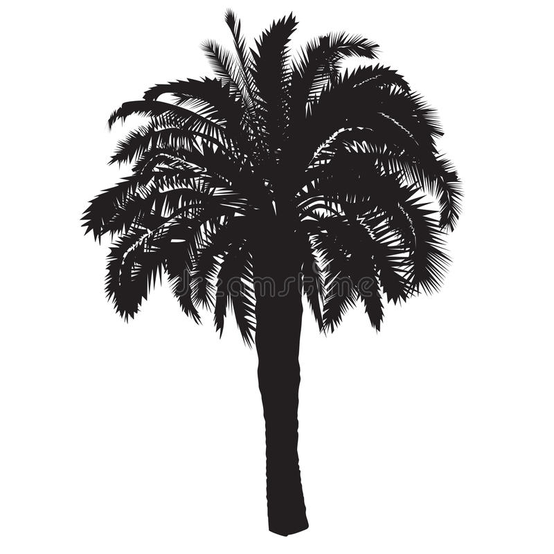 Silhouette of a date palm tree with fruits stock photo