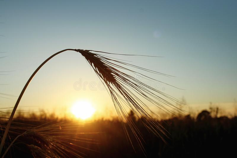 Silhouette de blé de seigle aux rayons dans le moment étonnant de soleil au su image libre de droits