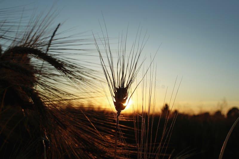 Silhouette de blé de seigle aux rayons dans le moment étonnant de soleil au su images stock
