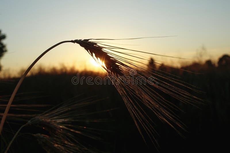 Silhouette de blé de seigle aux rayons dans le moment étonnant de soleil au su photos stock