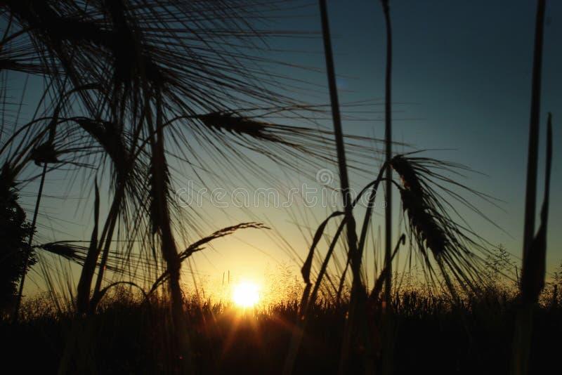 Silhouette de blé de seigle aux rayons dans le moment étonnant de soleil au su photographie stock