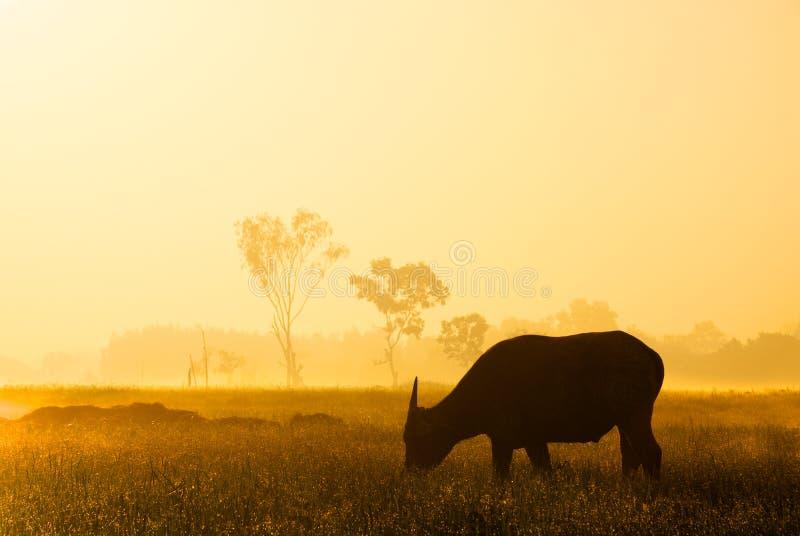 Silhouette de Buffalo à la lumière du soleil d'or images libres de droits