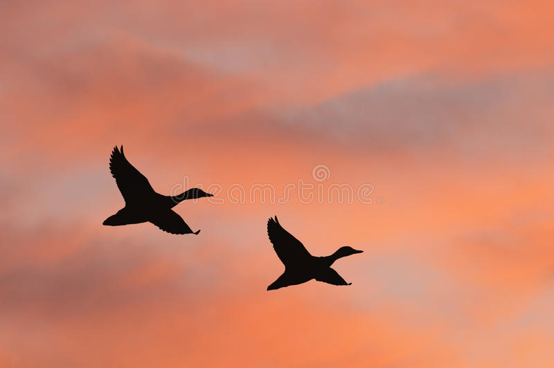 Silhouette de canards images stock