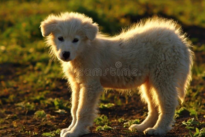 Silhouette de chien de berger roumain photos libres de droits