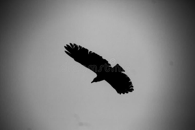 Silhouette de condor andin photographie stock libre de droits