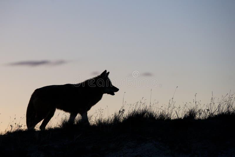 Silhouette de coyote sur la prairie photos stock