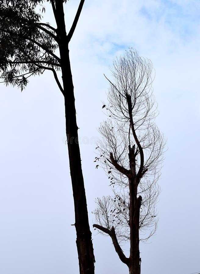 Silhouette de deux arbres contre les nuages blancs - droits et obliques - feuillus et nus image libre de droits