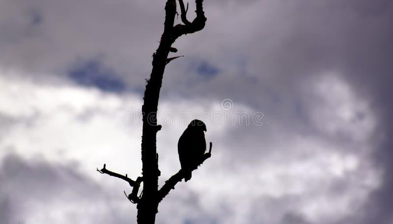 Silhouette de faucon images stock