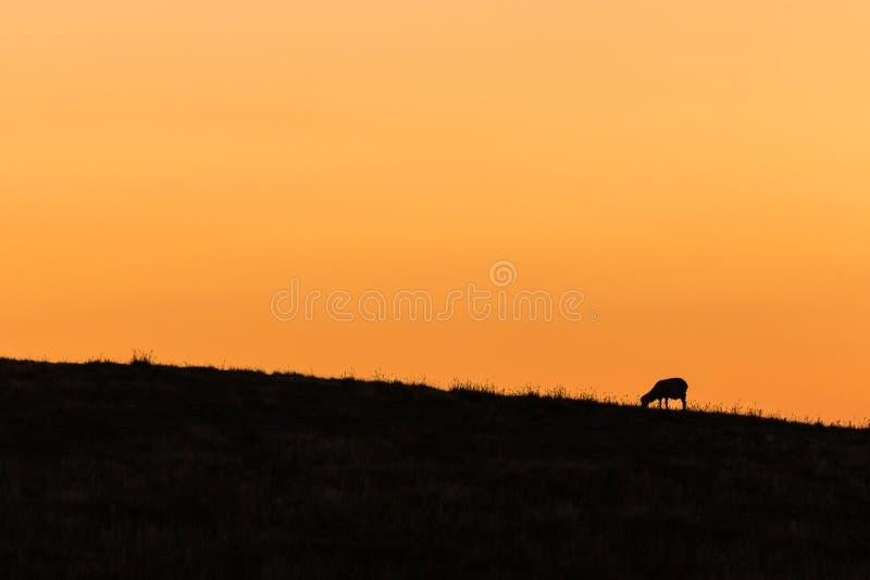 Silhouette de frôler des moutons photo stock