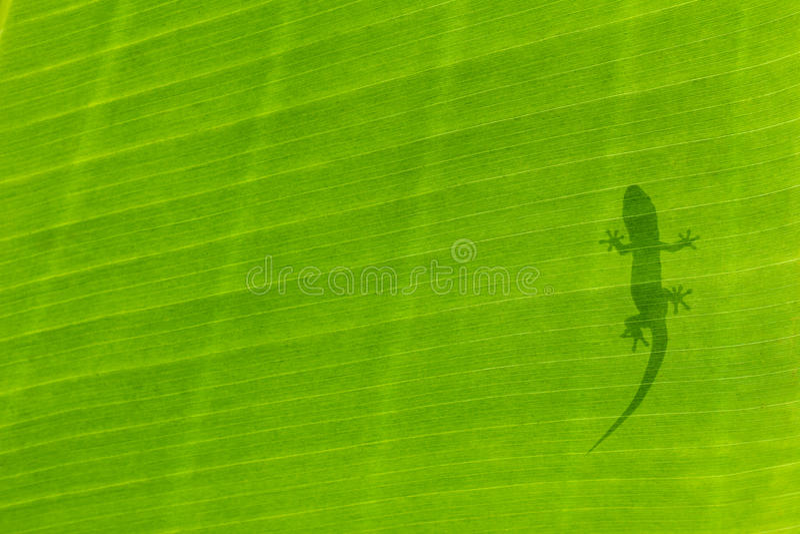 Silhouette de gecko images stock