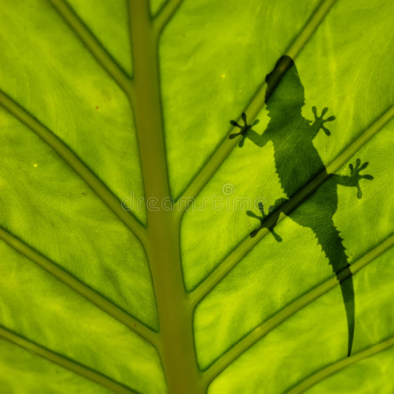 Silhouette de Gecko sur la lame photographie stock libre de droits