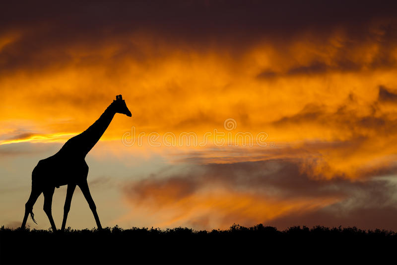 Silhouette de giraffe images stock