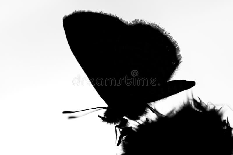 Silhouette de guindineau image libre de droits