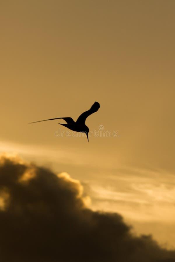 Silhouette de mouette de plongée chez Miami Beach photographie stock libre de droits