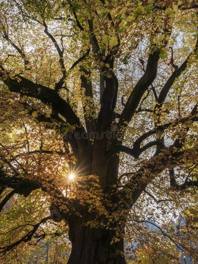 Silhouette de outono do Hindenburglinde foto de stock