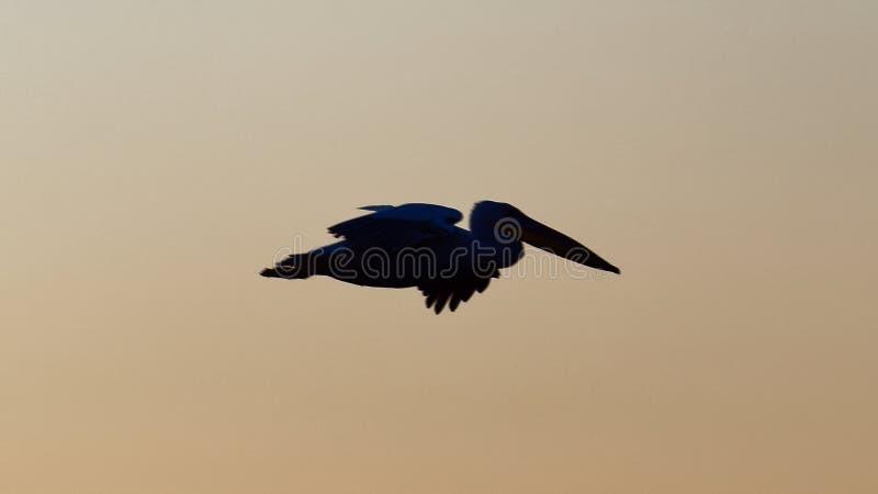 Silhouette de pélican contre le ciel de coucher du soleil photo libre de droits