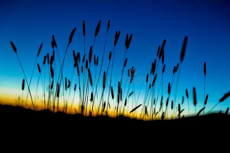 Silhouette de roseau des sables au coucher du soleil photos stock