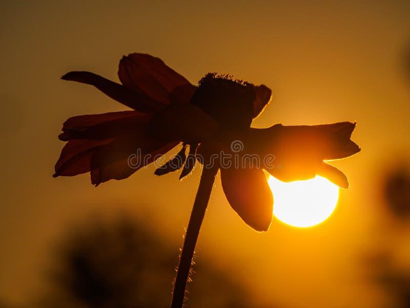Silhouette de tête de tournesol au lever de soleil image libre de droits