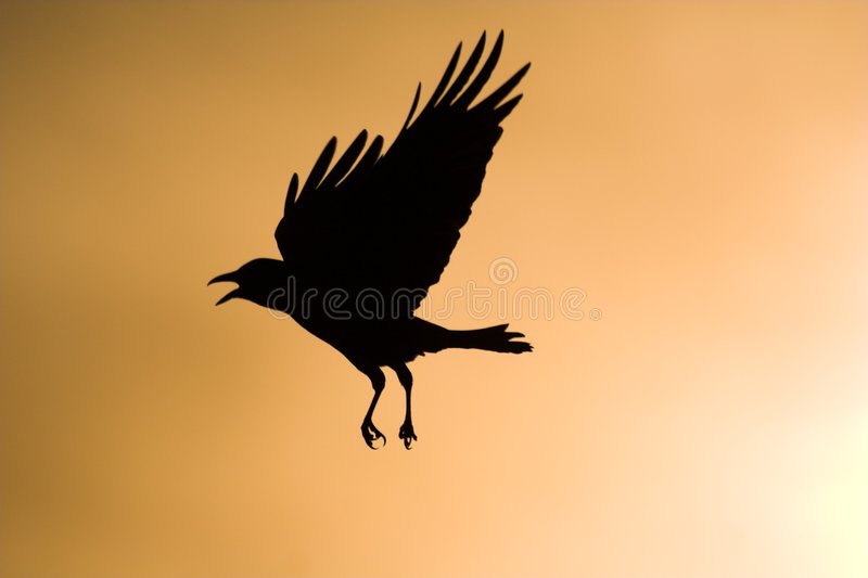 Silhouette de vol de corneille photographie stock libre de droits