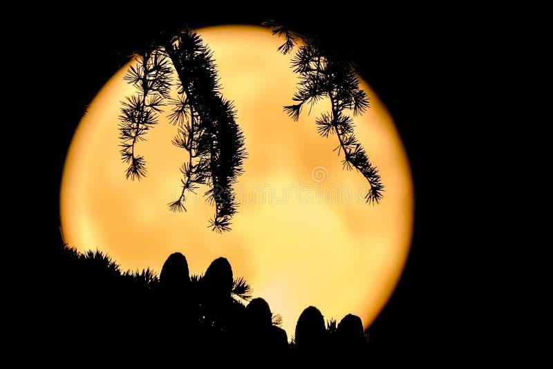 Silhouette des cônes et des aiguilles d'un arbre de cèdre ( ; Cedrus deodara) ; contre la lune de ful une nuit d'été clai photographie stock libre de droits
