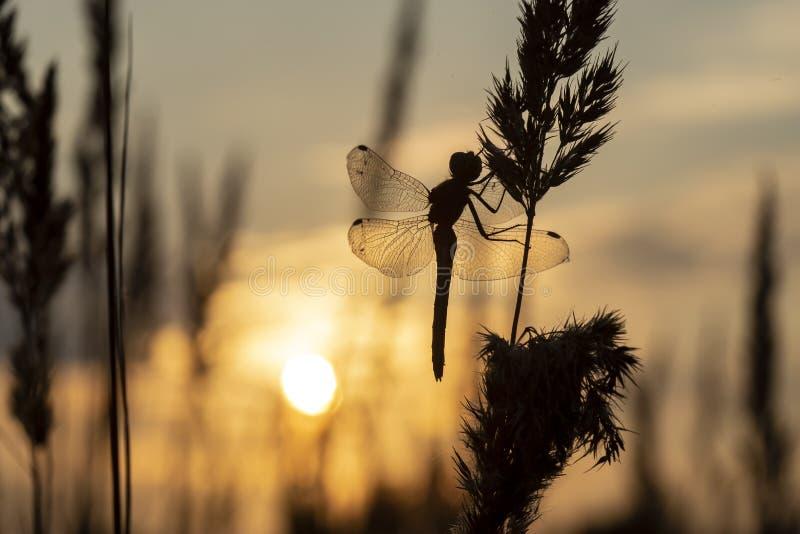 Le haut vue d'en bas  Silhouette-des-libellules-sur-l-herbe-contre-le-coucher-de-soleil-une-soir%C3%A9e-d-automne-136198107