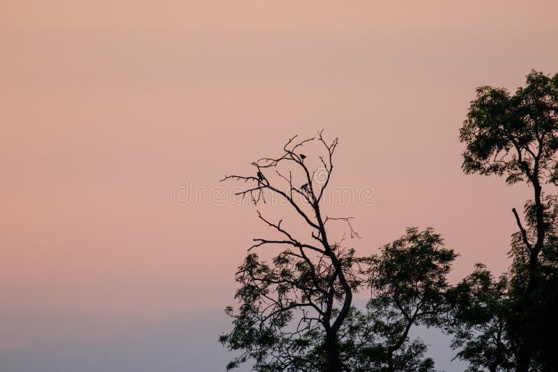 Silhouette des oiseaux de corvid roosting dans les arbres au crépuscule photographie stock libre de droits