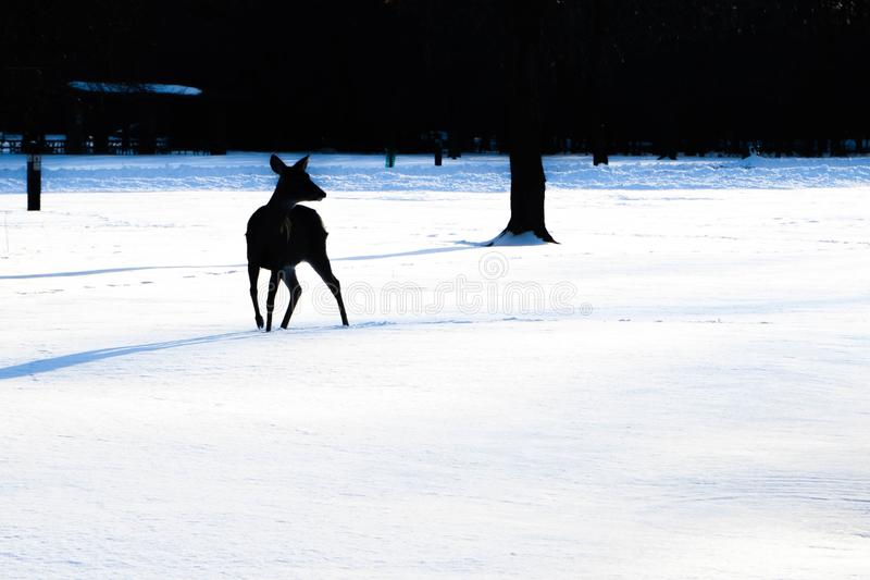 Silhouette des promenades de cerfs communs dans la forêt neigeuse photographie stock libre de droits