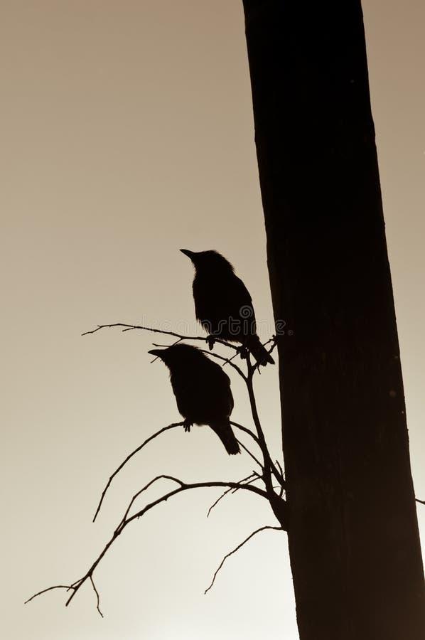 silhouette des starlings photographie stock libre de droits