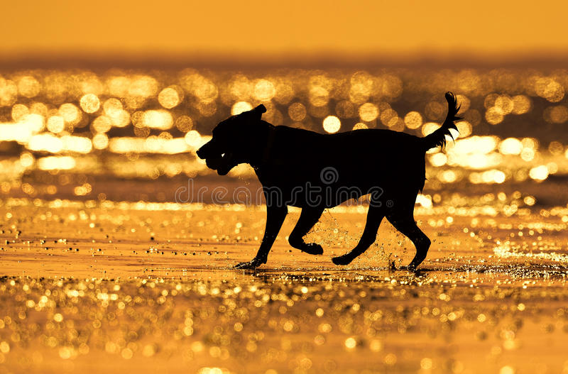 Silhouette of dog running on the water. Silhouette of a dog running on the water in golden sunset light stock photos