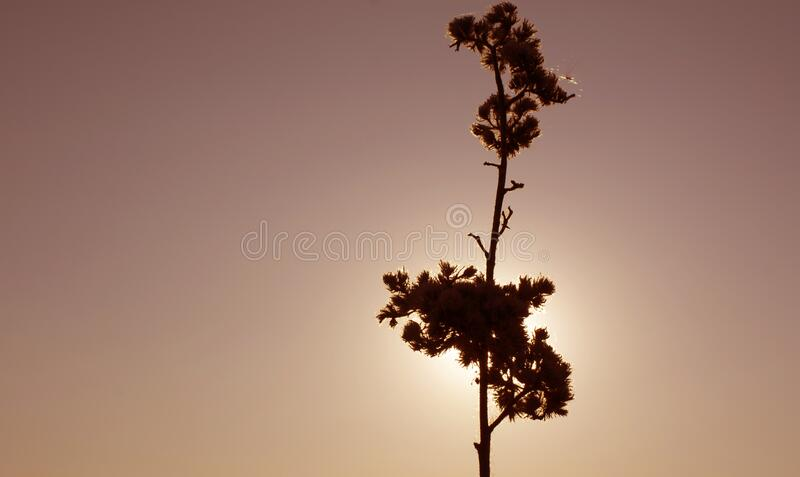 Silhouette of a dry plant on a background of sunset or sunrise. A silhouette of a dry plant on a background of sunset or sunrise stock photography