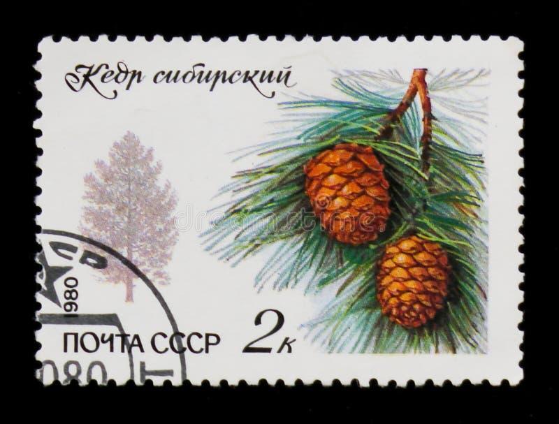 Silhouette du pin et de la branche sibériens avec les aiguilles et le cône, vers 1980 images stock