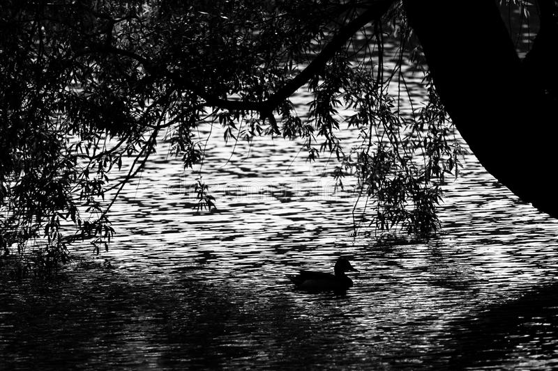 Silhouette of a duck mallard on the water. Black and white royalty free stock photos