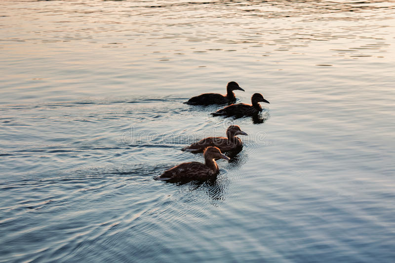 Silhouette of ducks in a row on the water royalty free stock images