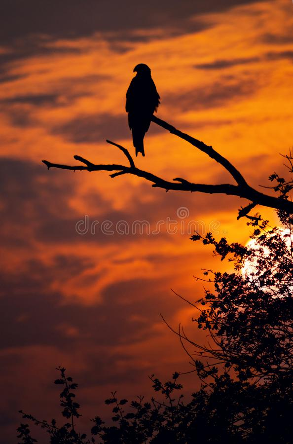 The silhouette of egale during sunset royalty free stock image