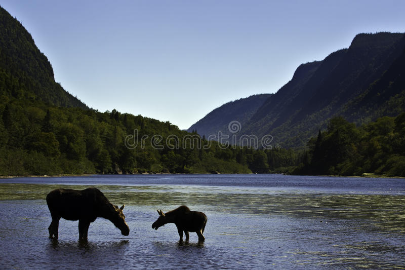Download Silhouette Female Moose With Calf Stock Photo - Image: 16719978