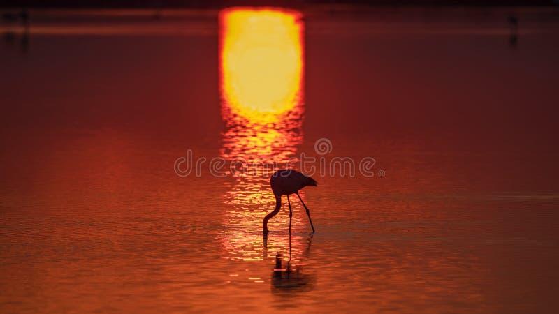 Silhouette Flamingo, Alimentazione Con Sole fotografie stock libere da diritti