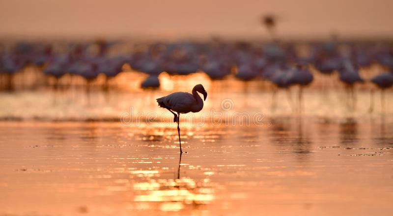 Silhouette of flamingo at dawn. Flamingo on the water of Lake Natron at sunrise. Lesser flamingo. Scientific name: Phoenicoparrus stock photo