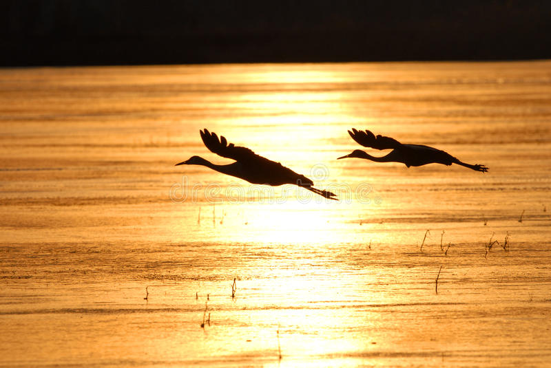 Silhouette Flight. Two sandhill cranes take flight over a frozen lake on a cold New Mexico winter day royalty free stock photography