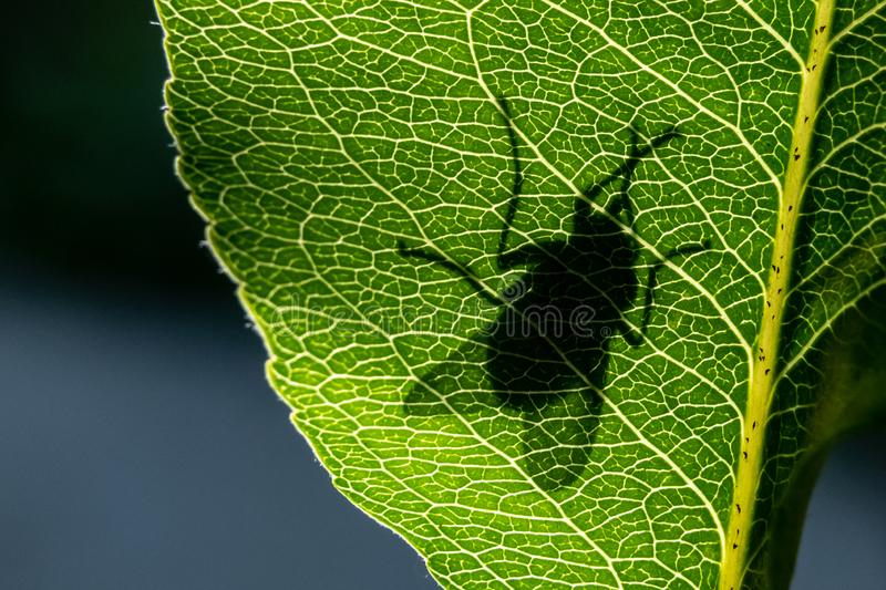 Silhouette of a fly on a green leaf close-up stock photography