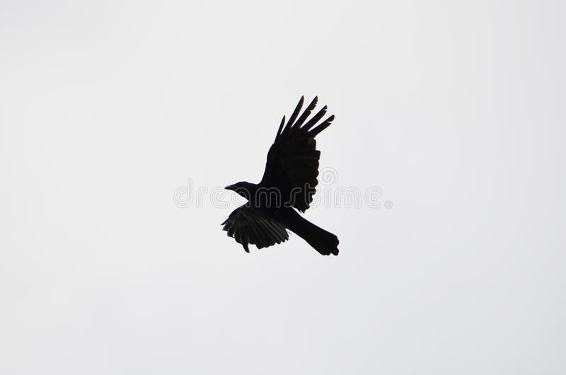 The silhouette of a flying crow royalty free stock images