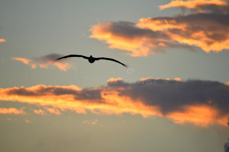Silhouette of a flying pelican sea bird against a dramatic sunset sky royalty free stock image