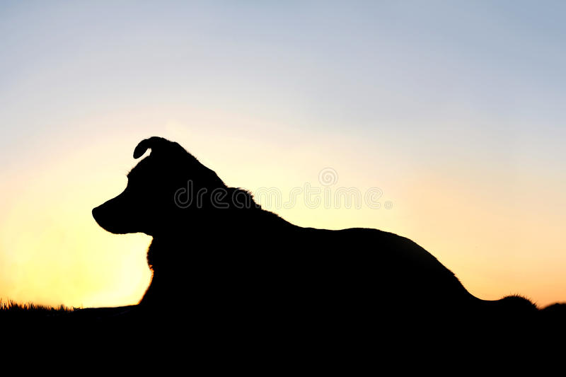 Silhouette of German Shepherd Mix Dog at Sunset. A black silhouette of a German Shepherd, Border Collie mix breed dog is laying down in front of a sunset in the royalty free stock photo