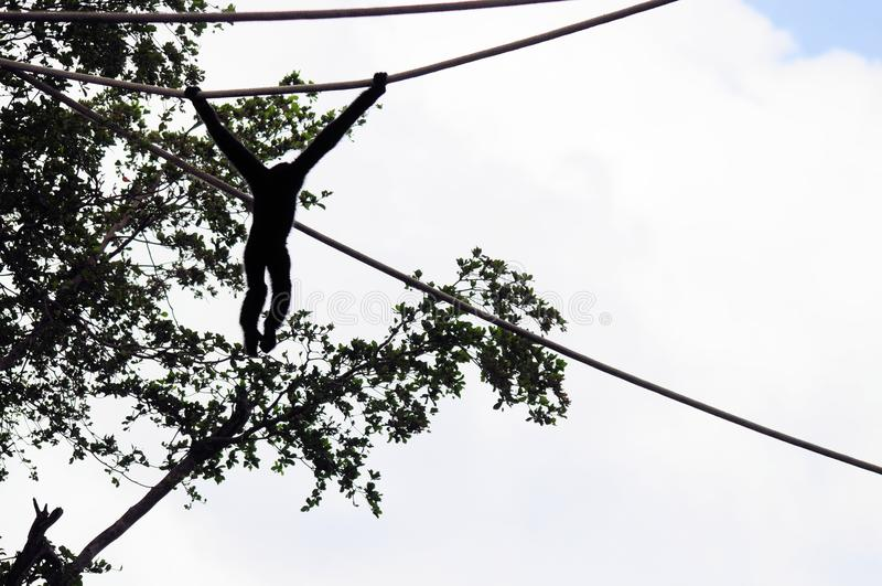 Silhouette of Gibbon monkey. Silhouette of a northern white-cheeked Gibbon monkey holding up to a rope in front of a tree in a South Florida zoo stock photos