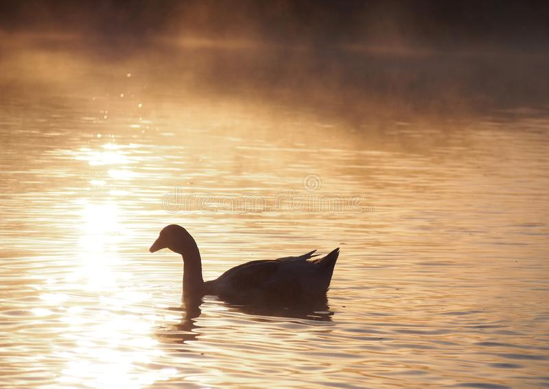 Silhouette of goose  in light of rising sun. Silhouette of goose sailing along river in fog in light of rising sun royalty free stock photography