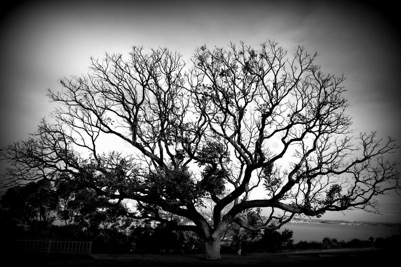 Silhouette of a grand tree. A big tree in black and white. in King's Park, Western Australia, Perth royalty free stock image