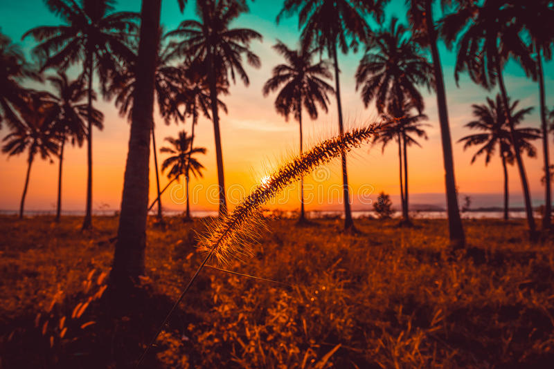 Silhouette grass flower and coconut palm tree on beach at sunset stock photos