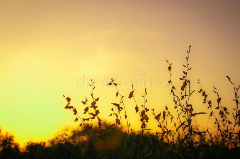 Silhouette of grass and flower on a great summer nature sunrise background.  royalty free stock images