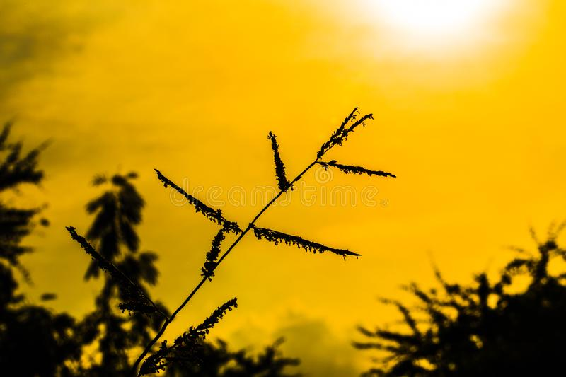 Silhouette of grass at sunset. Blossoming grasses and wildflower royalty free stock photo